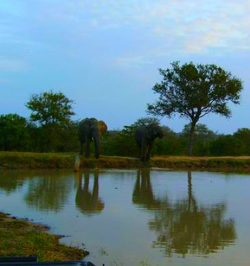 elelephants at waterhole sunset